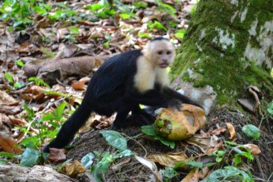 La Paloma Lodge: Capuchin monkey