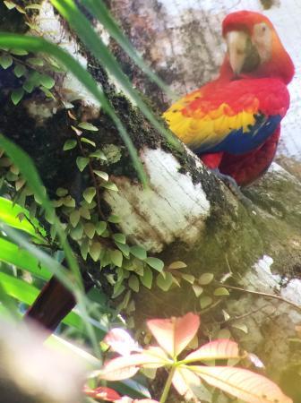 La Paloma Lodge: Macaw - from San Pedrillo tour