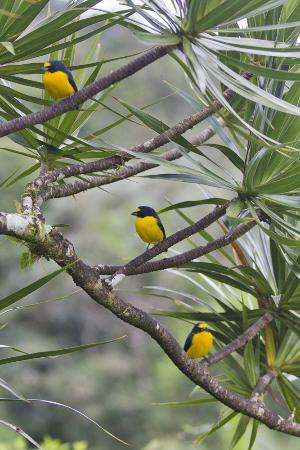 Nuevo Arenal, Costa Rica: Yellow-throated Euphonias