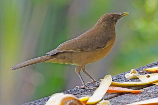 Nuevo Arenal, Costa Rica: Clay-colored Thrush (national bird of Costa Rica)