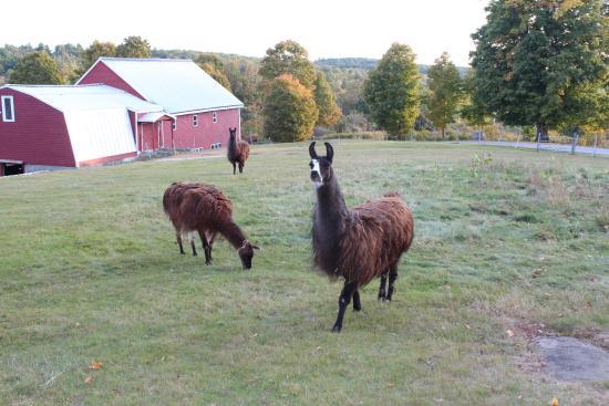 Hallowell, ME: Llamas grazing