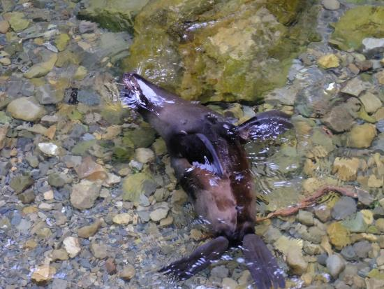 Fur Seal Pups Playing In The Ohau Stream Close To Kaikoura New Zealand