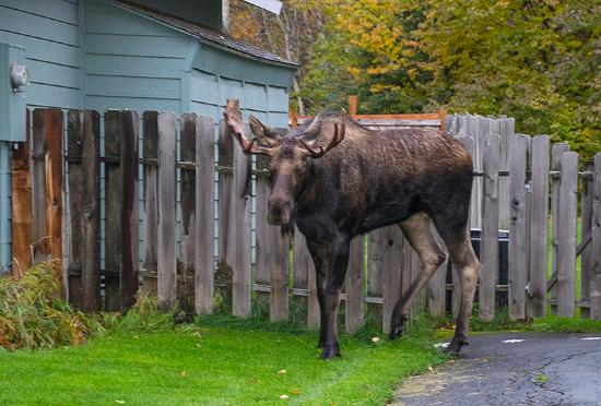 Camai Bed and Breakfast Inn: Moose in the backyard
