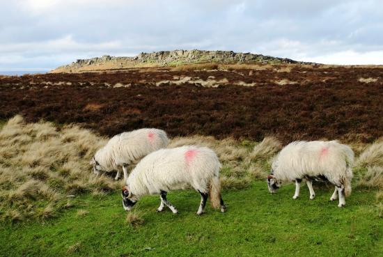 Stanage Edge: Stanage with sheep grazing