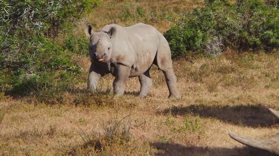 Shamwari Game Reserve Lodges: black rhino