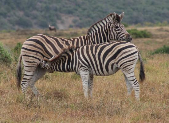 Shamwari Game Reserve Lodges: zebra