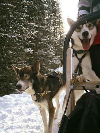 Snowy Owl Sled Dog Tours: Happy Happy