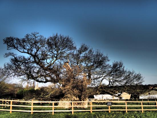 Bourne, UK: Bowthorpe Oak, more than 1,000 years old