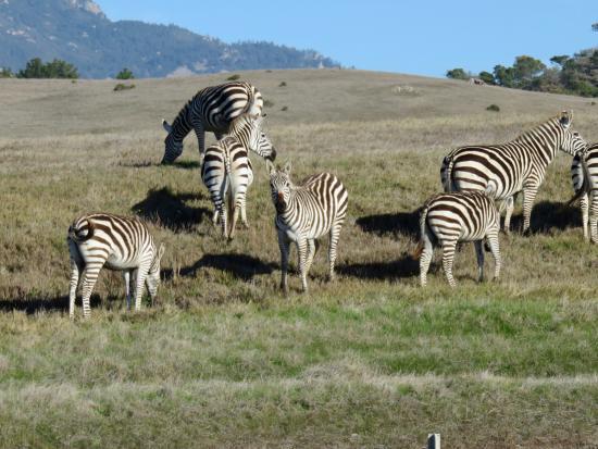 9 Iron Inn: Hearst Castle zebras nearby