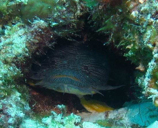 Yucab Reef : toadfish