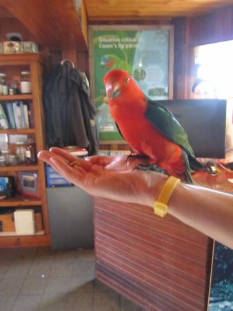 Canungra, ออสเตรเลีย: Friendly parrots :-)