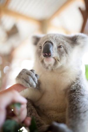 Helensburgh, Australia: Cuddle up to a koala