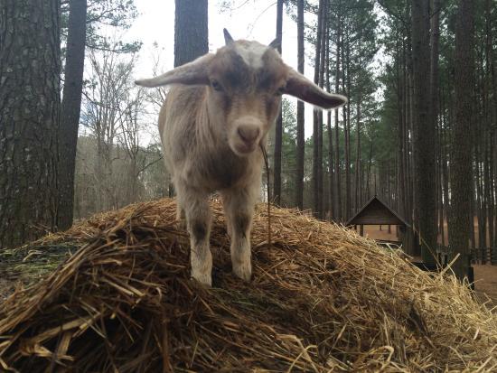 Palmetto, GA: Goat