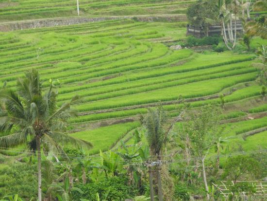 Jatiluwih Green Land: Jatiluwh