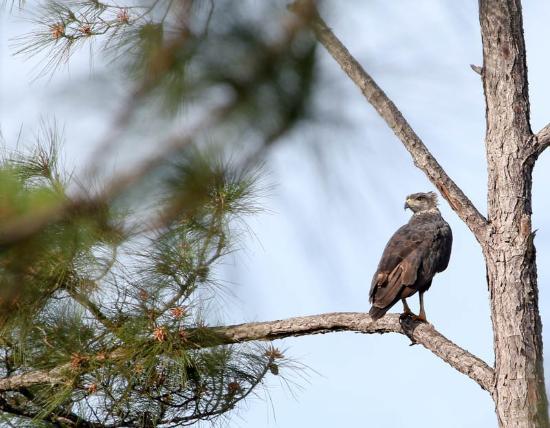 Solitary Eagle along entrance road to Hidden Valley Inn
