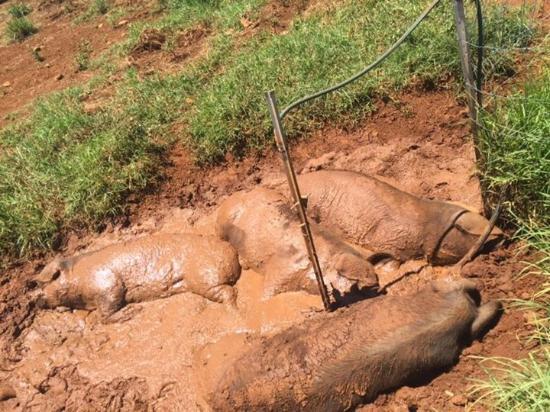 Ewingsdale, Australia: Black pigs rolling in mud