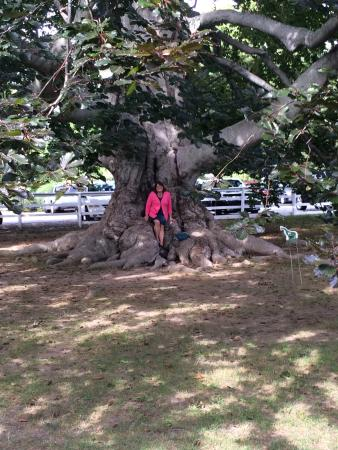 Portsmouth, RI: Huge tree on grounds