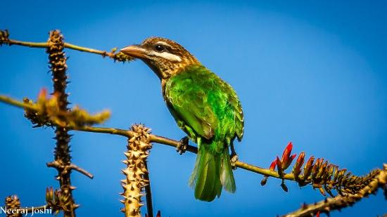 The Machan: White Cheeked Barbet, endemic to western ghats