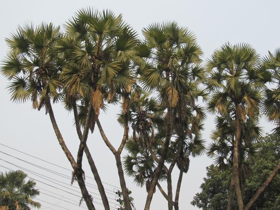 Acharya Jagadish Chandra Bose Indian Botanic Garden: Palm Tree With Branches