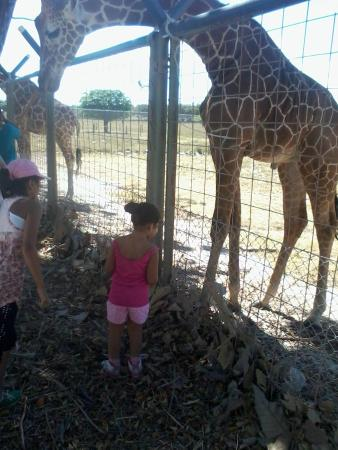Africa Safari: con la jirafa
