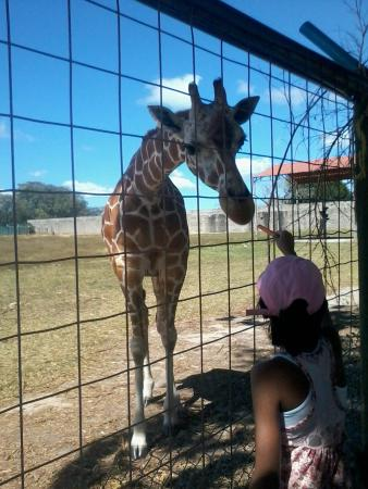 Africa Safari: alimentando a la jirafa