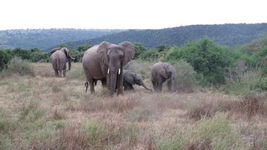 Кентон-он-Си, Южная Африка: Elephants galore!