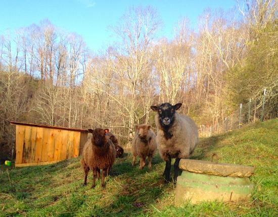 Lake Toxaway, Carolina do Norte: Sheepies!