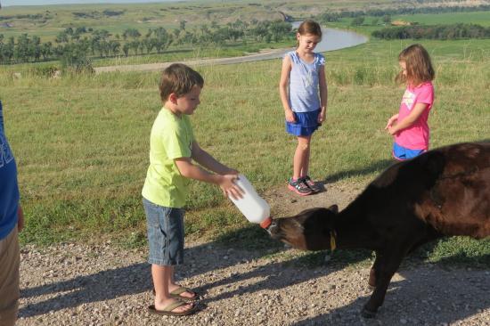 ภายใน, เซาท์ดาโคตา: feeding the baby calf
