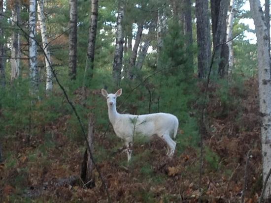 Eagle River, WI: Wildlife- albino deer.