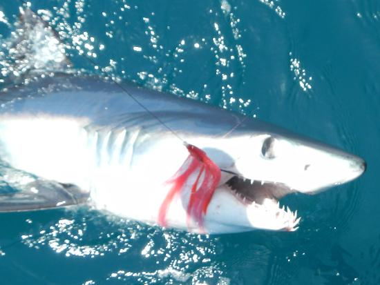 Fly rod caught mako shark picture of on the fly fishing for Fly fishing san diego