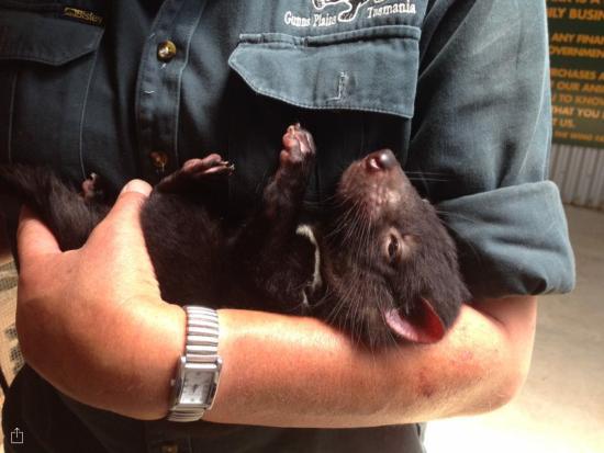 Gunns Plains, أستراليا: Devil encounter...so cute!