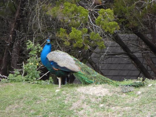 Austin Zoo: Humungous Peacock