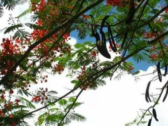 Water Front De Belle View: Flamboyant Tree...!!!