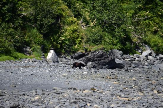 Kayak Adventures Worldwide - Day Trips: Our friendly bear visitor
