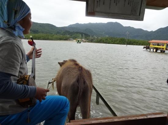 亜熱帯植物楽園 由布島, 水牛車内の様子