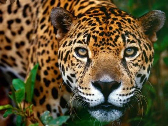 Fayla Tours Papagayo: Jaguar