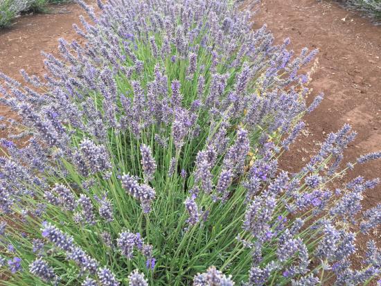 Tasmânia, Austrália: 600000 plants