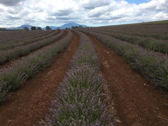 Tasmânia, Austrália: miles of the stuff