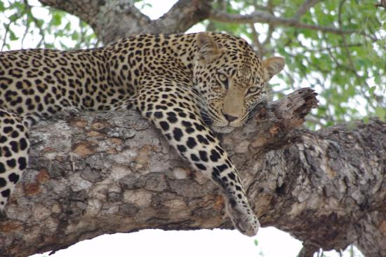 Cheetah Plains: The beautiful leopard, 'Quarantine'