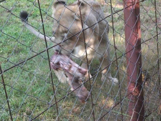Nature Sanctuary : Lioness getting a bite