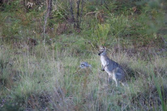 Cherrabah Homestead Resort: Kangaroo