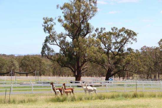 Elbow Valley, Australien: Alpacas