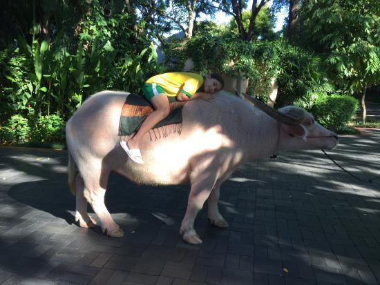 Four Seasons Resort Chiang Mai: Meeting the resident buffalo