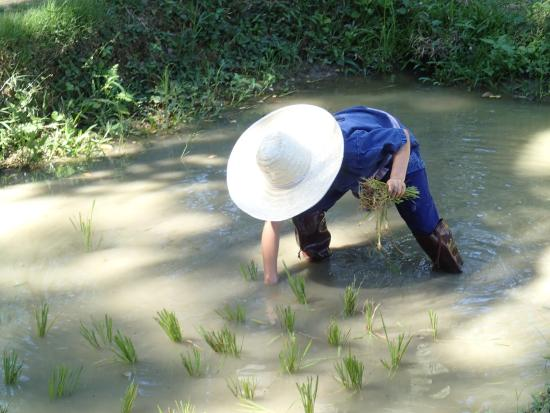 Four Seasons Resort Chiang Mai: Learning to plant rice at the hotel