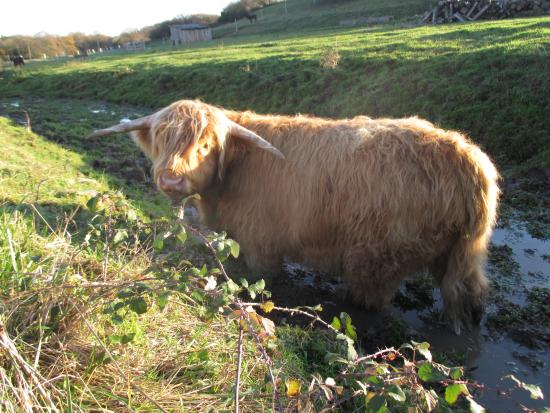 Landes-le-Gaulois, France: Jason, notre boeuf Highland Cattle