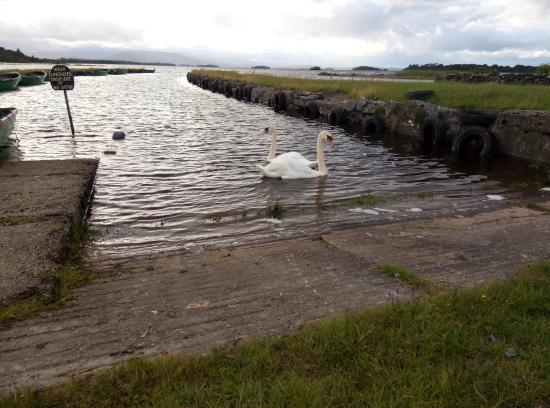 Oughterard, İrlanda: L'acceso al lago con visita di cigni!