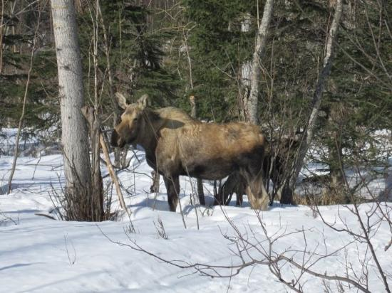 Eagle River Nature Center: A momma moose