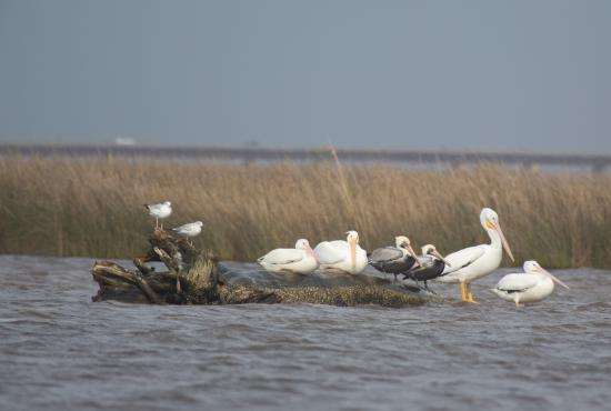 Eco Tours of South Mississippi: American white pelican