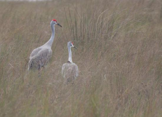 Eco Tours of South Mississippi: Mississippi sandhill crane