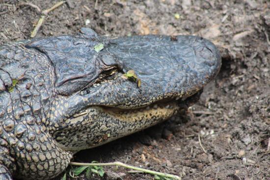 Morgan City, LA: Cayenne Gator